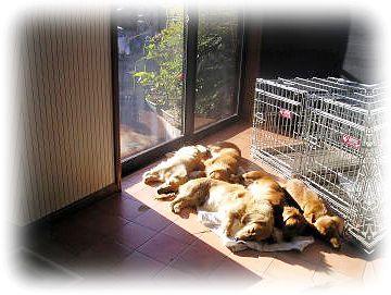 ブリーダー カニンヘンダックス、ミニチュアダックスがタオルで寝る