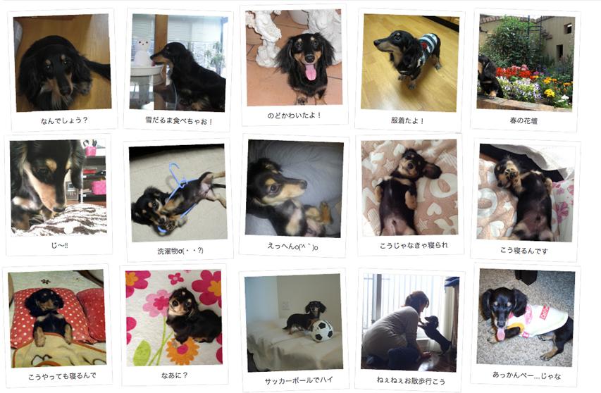 埼玉県のお客様からミニチュアダックスのお写真をお送りいただきました