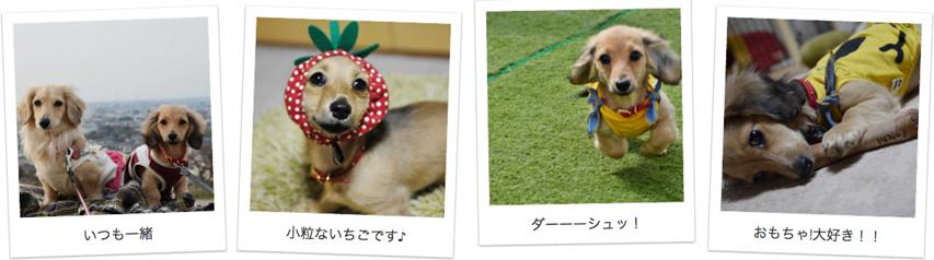 石川県のお客様からミニチュアダックスのお写真をお送りいただきました