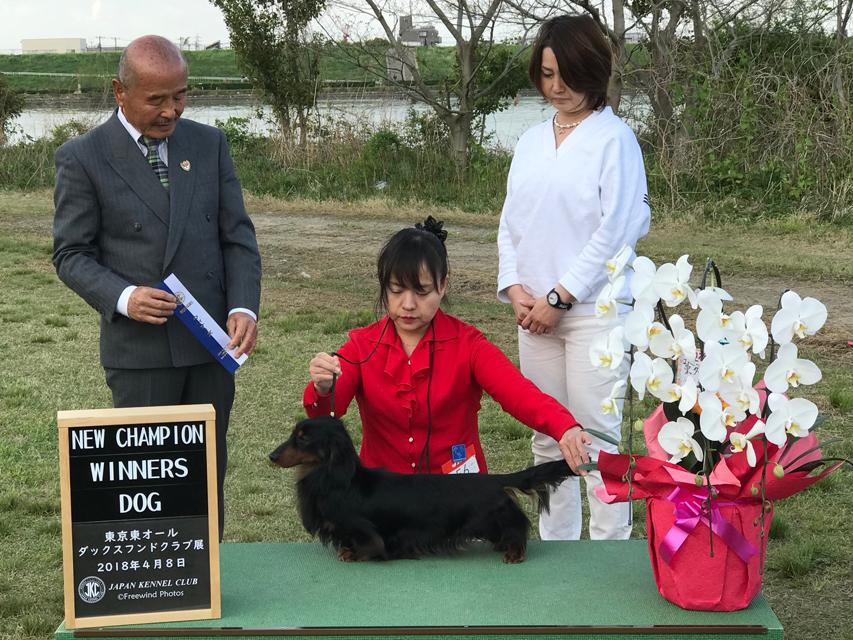 【ドッグショー】東京東オールダックスフンドクラブ展 フレディ JKCチャンピオン完成 その2