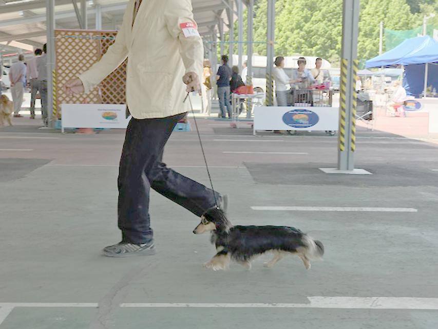 【ドッグショー】都下八南愛犬クラブ展 スルガ ウイナーズ