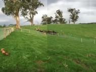 ミニチュアのデンデンとゴールディのオーストラリア最新映像