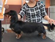 dachshund01
