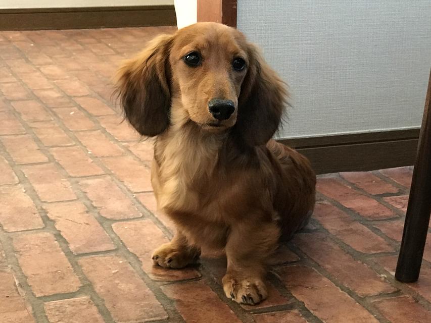 ミニチュアダックス サリーアン & フレディの子犬 レッド 男の子(1)