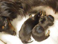 カニンヘン ダックスフンドのリリィが10月6日出産しました
