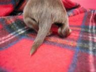 ミルクちゃん(愛知県・O様) チョコ&クリーム女の子 カニヘン イブの子犬