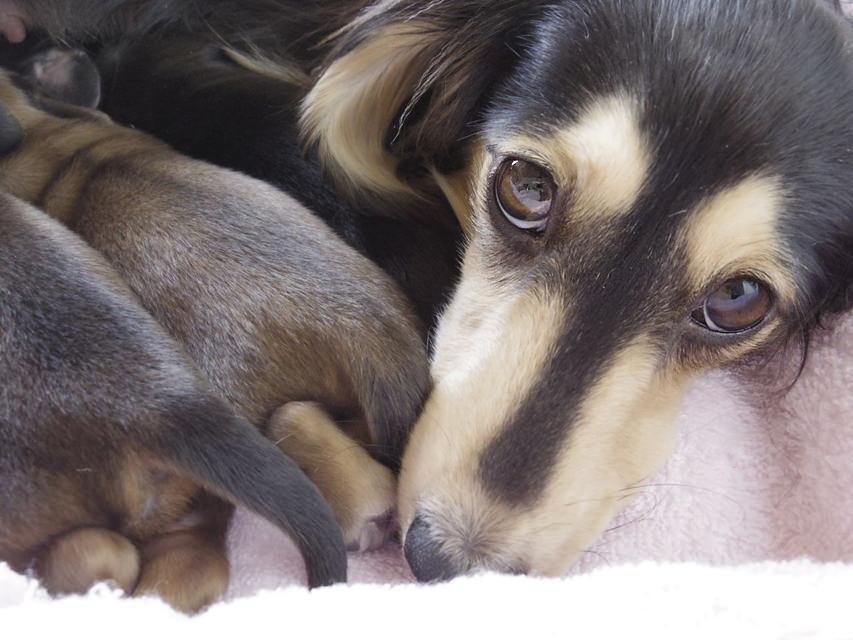 ミニチュアダックスのシャーディーが5月11日出産しました