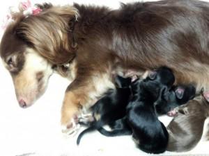 カニンヘンのハッピーベルが6/25出産しました ブラッククリーム男の子2 ブラクリ女の子1 チョコクリ女の子1