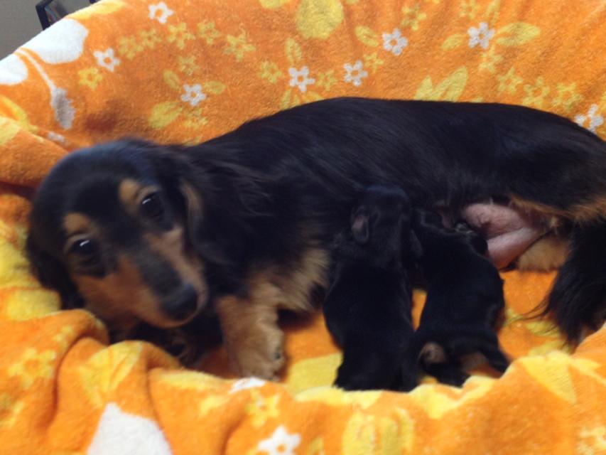 カニンヘンのエルナが6/25出産しました ブラッククリーム男の子1 女の子1
