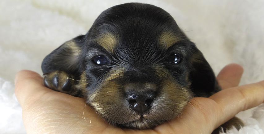 ななこの赤ちゃん カニンヘンダックスフンド ブラック&クリーム 女の子 4月6日生まれ