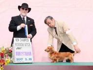 【ドッグショー】 群馬県クラブ連合会展 サリーアン JKCチャンピオン完成