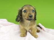 シャーロットcs & ブルースの子犬 シェーデットイエロー(シェーデットクリーム) 男の子