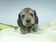 茶葉 & オスカルの子犬 シェーデットイエロー(シェーデットクリーム) 男の子