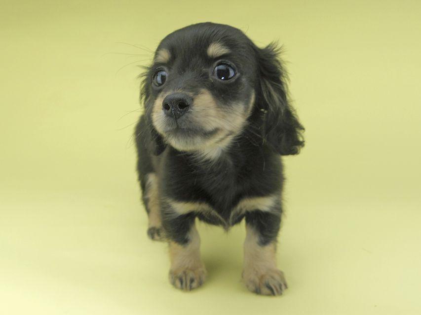 カニンヘンダックスフンド レディ & ルークの子犬 ブラックイエロー(ブラッククリーム) 女の子 お写真初登場