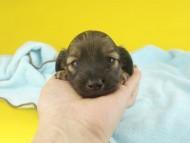 シャーロットcs & ブルースの子犬 シェーデットイエロー(シェーデットクリーム) 女の子 お写真初登場