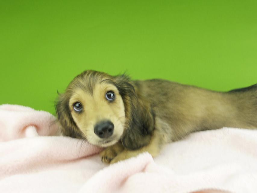 カニンヘンダックスフンド 茶葉 & オスカルの子犬 シェーデットイエロー(シェーデットクリーム) 男の子