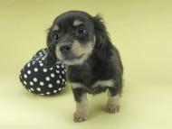 レディ & ルークの子犬 ブラックイエロー(ブラッククリーム) 女の子 お写真初登場