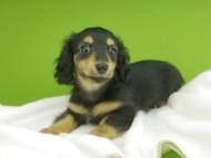 ラムネkk & 朝日の子犬 ブラタン 女の子