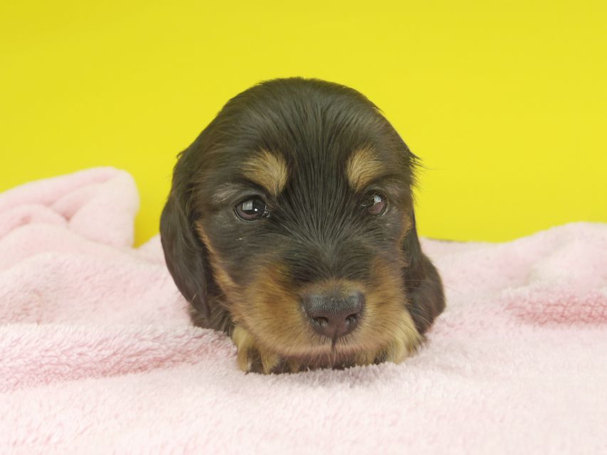 カニンヘンダックスフンド ナンシーcs & ナイトの子犬 ブラタン 女の子(1)