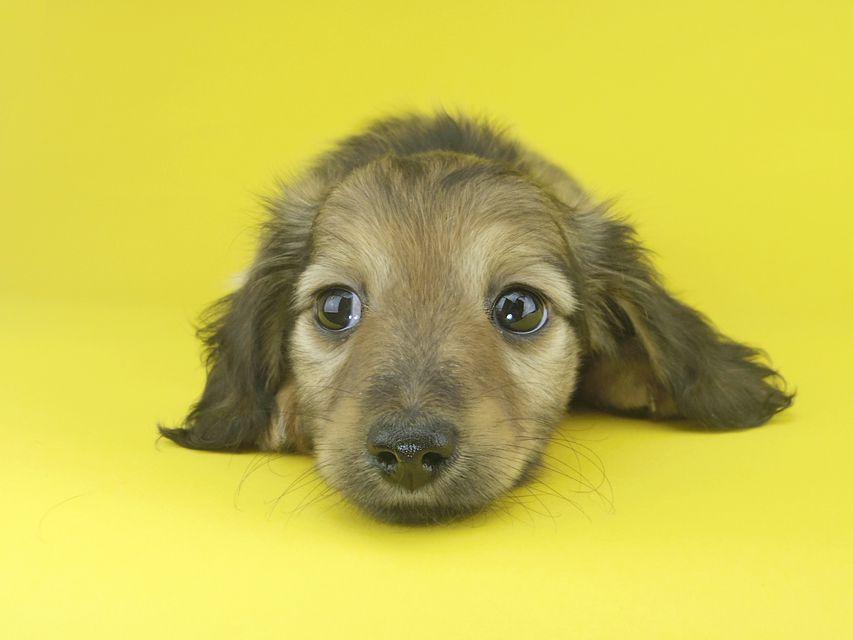 カニンヘンダックスフンド オーシャン & 竹千代の子犬 シェーデットイエロー(シェーデットクリーム) 女の子(2)