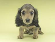 レディ & ルークの子犬 シェーデットイエロー(シェーデットクリーム) 女の子 お写真初登場