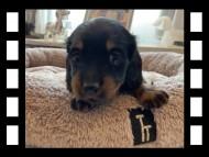 ローリー & ジェットの子犬 ブラタン 女の子(2)