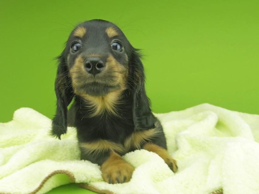 カニンヘンダックスフンド ナンシーcs & ナイトの子犬 ブラタン 女の子(3)