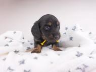 コトhp & ブルースの子犬 ブラックイエロー(ブラッククリーム) 女の子