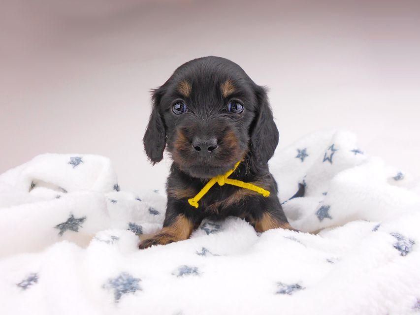 カニンヘンダックスフンド コトhp & ブルースの子犬 ブラックイエロー(ブラッククリーム) 女の子