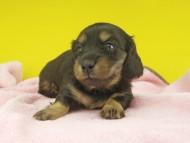 ナンシーcs & ナイトの子犬 ブラタン 女の子(2)