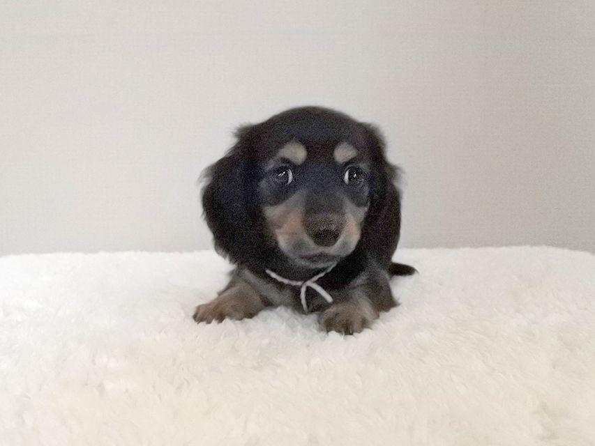 カニンヘンダックスフンド スワン & ジムダンディの子犬 ブラタン 男の子(1)