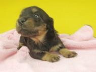 ナンシーcs & ナイトの子犬 ブラタン 女の子(3)