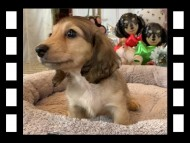 オーロラ & スカッシュの子犬 イエロー(クリーム) 女の子