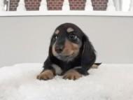 スワン & ジムダンディの子犬 ブラタン 男の子(2)