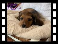 ジャスミンの子犬 レッド 女の子