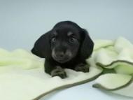 KT & ブルースの子犬 ブラックタン 男の子