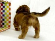 シェーデットレット男の子 カニンヘンダックス トリスの子犬