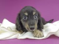 グリム & ナイトの子犬 ブラックイエロー(ブラッククリーム) 男の子