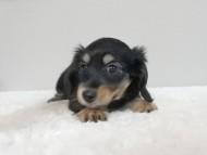 ナンシーcs & ナイトの子犬 ブラタン 女の子(1)