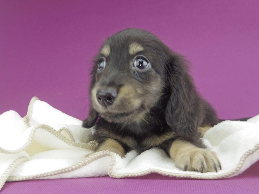 カニンヘンダックスフンド グリム & ナイトの子犬 ブラックイエロー(ブラッククリーム) 男の子