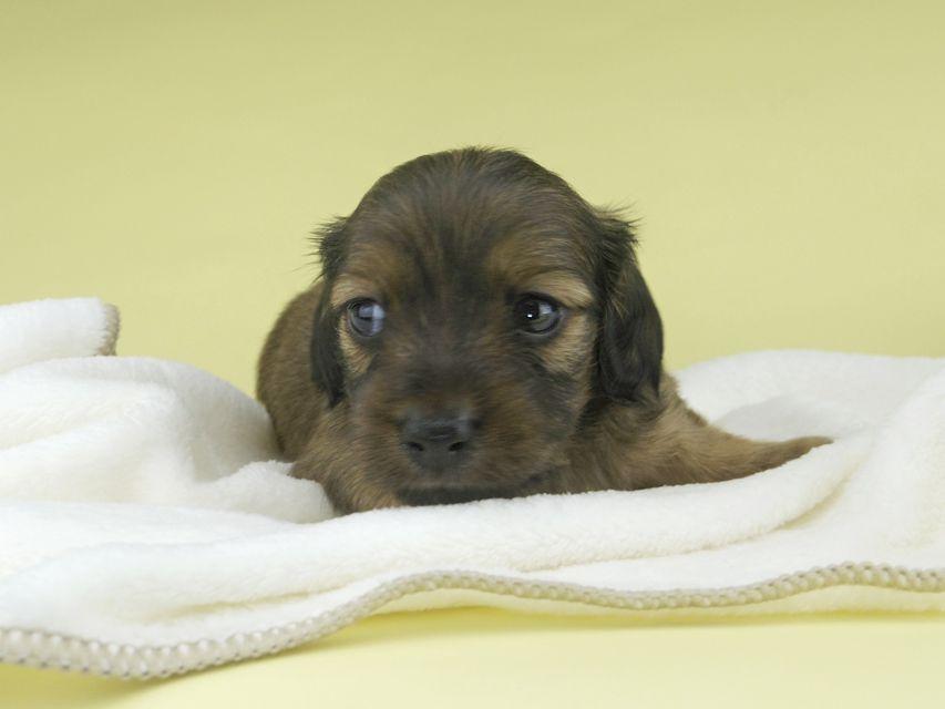カニンヘンダックスフンド シャーロットcs & ブルースの子犬 シェーデットイエロー(シェーデットクリーム) 男の子