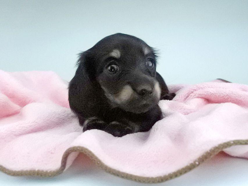 カニンヘンダックスフンド KT & ブルースの子犬 ブラックイエロー(ブラッククリーム) 女の子