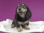 グリム & ナイトの子犬 ブラックイエロー(ブラッククリーム) 女の子