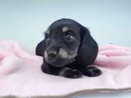 KT & ブルースの子犬 ブラックイエロー(ブラッククリーム) 女の子