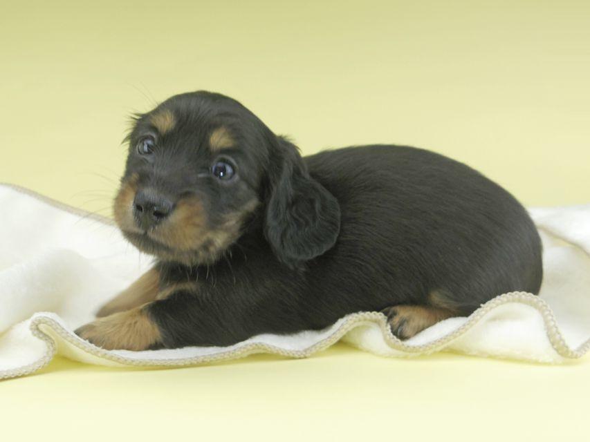 カニンヘンダックスフンド ナンシーcs & ナイトの子犬 ブラタン 女の子(2)