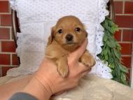 オリーブkk & スカッシュの子犬 ゴールド 男の子
