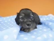 リコ & 竹千代の子犬 シェーデットイエロー(シェーデットクリーム) 男の子