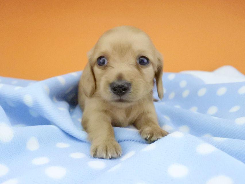 カニンヘンダックスフンド リコ & 竹千代の子犬 イエロー(クリーム) 女の子