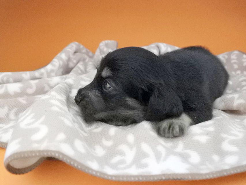 カニンヘンダックスフンド グリム & ナイトの子犬 ブラックイエロー(ブラッククリーム) 女の子