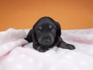 ノエルhp & ブルースの子犬 ブラックタン 女の子